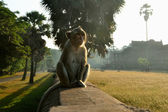 Temple Monkey in Angkor Wat — Stock Photo