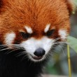 Red panda — Stock Photo