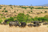 Afrika cape buffalo — Stok fotoğraf
