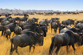 Wildebeest antelopes in the savannah — Stock Photo