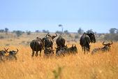Antelopes Gnu — Stock Photo