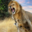 Stock Photo: Mating lions