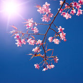 Oriental sakura — Stock Photo