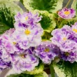 Close-up of an African violet. — Stok fotoğraf