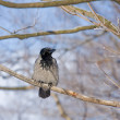 Gray a raven in the frosty sunny day — Stock Photo #10057810