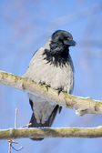 Gray a raven in the frosty sunny day — Stock Photo