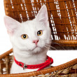 Royalty-Free Stock Photo: Pet white Kitten with red collar Isolated on White Background