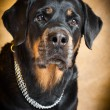 Portrait of a purebred  rottweiler in studio. — Stock Photo
