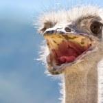Curious ostrich portrait — Stock Photo #9089695