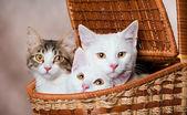 Tres gatitos en una cesta — Foto de Stock