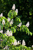 Chestnut tree with many blossoms. — Stock Photo