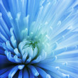 Blue Chrysanthemum. — Stock Photo