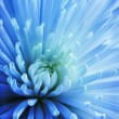 Постер, плакат: Blue Chrysanthemum