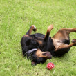 Rottweiler — Stock Photo #9093587