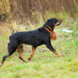 Rottweiler — Stock Photo #9093740