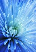 Blue Chrysanthemum. — Stock Photo