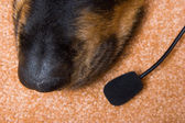 Dog of breed a Rottweiler — Stock Photo