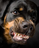 Dog of breed a Rottweiler in an aggressive condition. It is removed in stud — Stock Photo