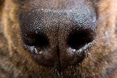 Nahaufnahme eines Hundes Nase — Stockfoto