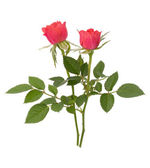 Beautiful rose pair — Stock Photo