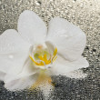 White orchid flower over wet surface with reflection — Stock Photo