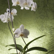 Beautiful white orchid — Stock Photo #8432142