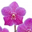 Stock Photo: Flower of blooming orchid