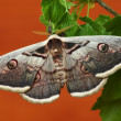Silk moth (saturnia pyri) — Stock Photo