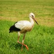 Stork at field - Stock Photo