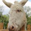 A white donkey looking over a fence — Stock Photo