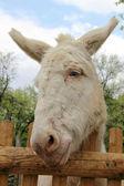 En vit åsna över ett staket — Stockfoto