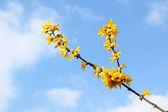 Forsythia bush flowers against blue sky — Stock Photo