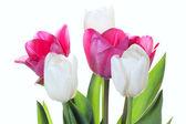 Tulips flowers on white background — Stock Photo