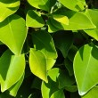 Ficus leaf — Stock Photo