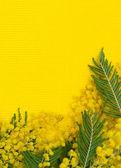 Gele achtergrond met tak van mimosa — Stockfoto