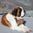 St. Bernard Dog — Stock Photo