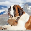 St. Bernard Dog — Stock Photo #9604291