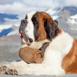 St. Bernard Dog - Foto de Stock