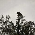 Bald Eagle in Rehabilitation Center — Stock Photo