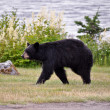 Stock Photo: Juneau Bear