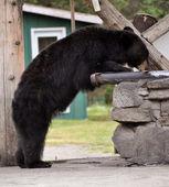 Taku Lodge Bear — Stock Photo
