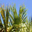 Blue sky through green fronds — Stock Photo