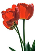 Flower tulips close up — Stock Photo