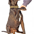 Dog  handshake - Stock Photo