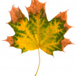 Leaf of maple isolated — Stock Photo