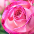 Rose close up — Stock Photo