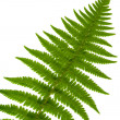 Leaf fern isolated close up — Stock Photo