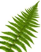 分離した葉のシダのクローズ アップ — ストック写真