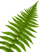 Leaf fern isolated close up — 图库照片