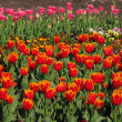 Vibrant tulips.... — Stock Photo #10216349
